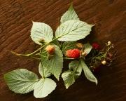 raspberries on the vine with leaves