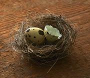 quail eggs nest broken hatching photography