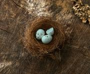 bluebird nest hatching egg broken photography