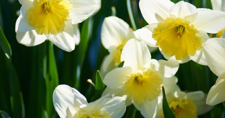 Dafodils in the spring